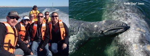 baja gray whale